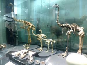 様々な種類のモア骨格見本、それぞれの足の太さにご注目!