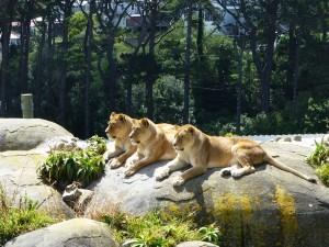 小高い場所にあるライオン舎