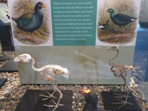 タカヘとプケコの骨格比較