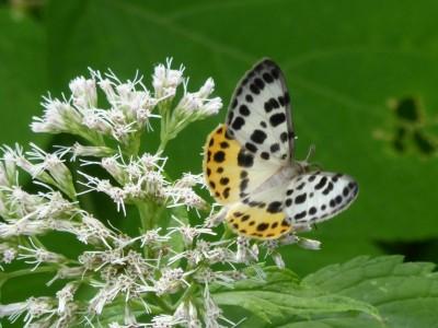この蝶は何?