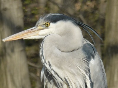 後頭部に伸びたダークグレーの冠羽が素敵