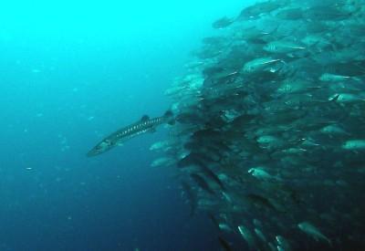 バラクーダを追いかけるギンガメアジの群れ