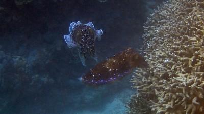 サンゴに卵を産み付けるコブシメのメス