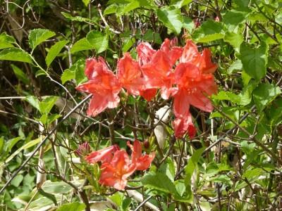 梅雨入り前後に咲き出すレンゲツツジ