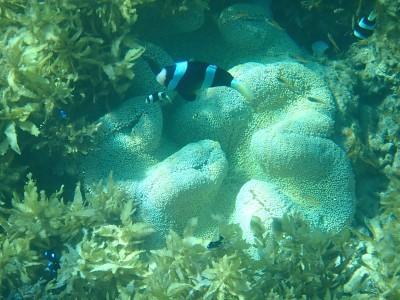 クマノミとミツボシクロスズメダイの稚魚
