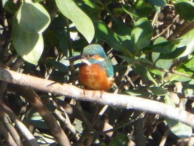 マングローブ林のカワセミ:漫湖水鳥・湿地センター
