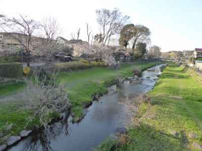 桜五分咲きの野川