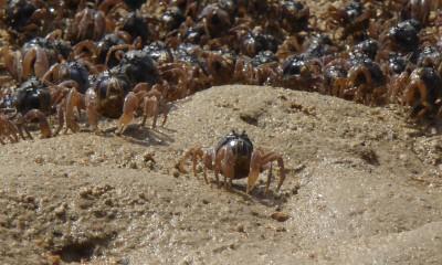 大浦湾干潟のミナミコメツキガニ