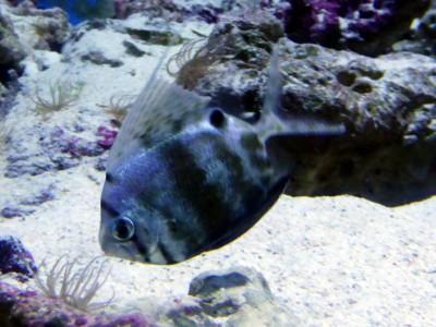 美ら海水族館初登場の珍魚ヒメクサアジ