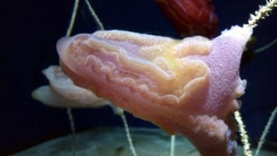 水深150~230mに生息するコトクラゲ