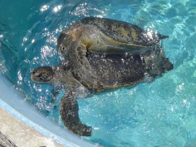 クロウミガメの交尾