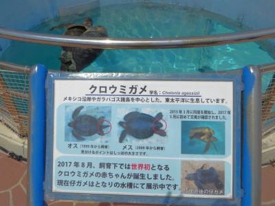 クロウミガメ水槽