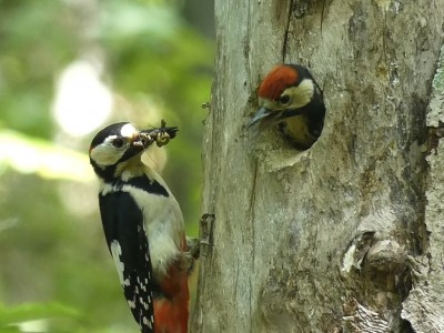 幼鳥に給餌するアカゲラのオス